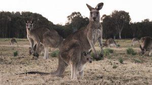 Kangaroo family.